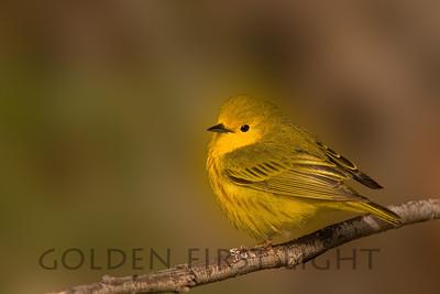 Yellow Warbler, Malheur National Wildlife Refuge