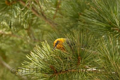 Olive Warbler, Mt Lemmon AZ