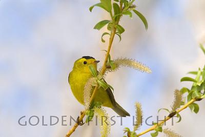 Wilson's Warbler, Summer Lake Oregon