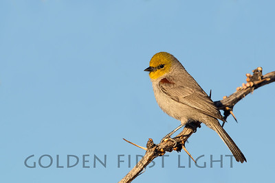 Verdin, Joshua Tree National Park