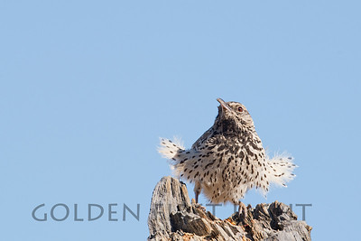 Cactus Wren, Joshua Tree National Park