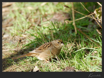 This Golden-crowned Sparrow knew were the pickings were good ... right under the feeder of course.