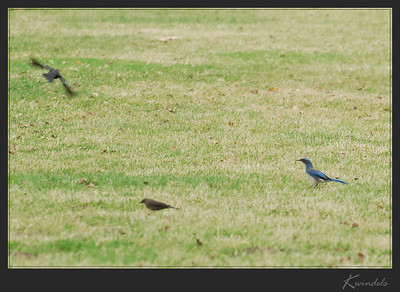 Western Scrub-Jay and a couple of cowbirds.