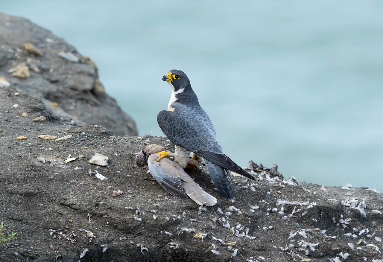 Male Peregrine Falcon with prey.