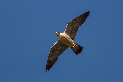 Peregrine Falcon Soaring