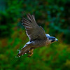 Peregrine Falcons : I recommend that you click on the slide show button at the top right side of this page to sit back and enjoy the fine art show. When the slide show begins, I suggest that you click on Hide Captions to view the images unencumbered by text. You can click on the 'Slow,' 'Medium,' or 'Fast' button for your speed preference.
