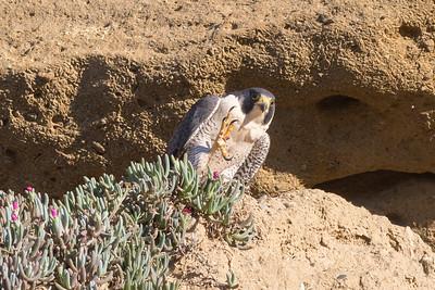 Peregrine Falcon Weapon