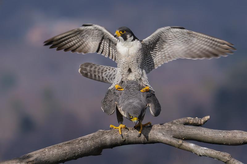 """Peregrine Falcon """"procreation"""""""