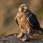 Peregrine Falcon young female