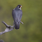 Peregrine Falcon (Male)