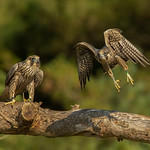 Peregrine Falcons (immature)