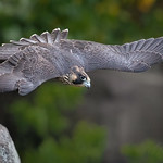 Peregrine Falcon young female