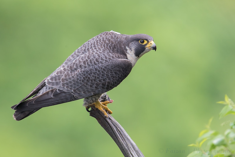 Adult Female Peregrine Falcon