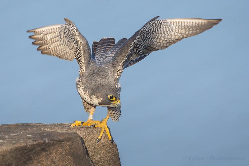 Peregrine Falcon (Female)