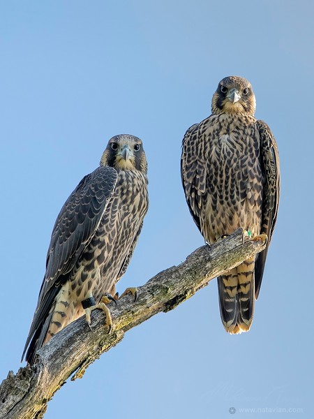 Peregrine Falcons (immature)