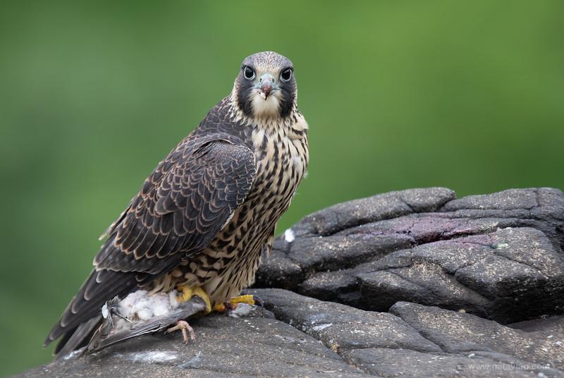 Peregrine Falcon fledgling