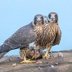 Peregrine Falcons (Juvenile)