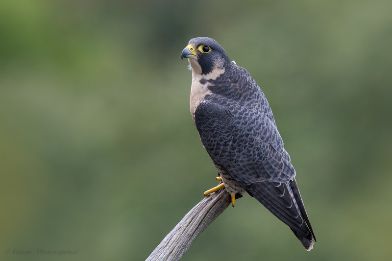 Adult Female Peregrine Falcon