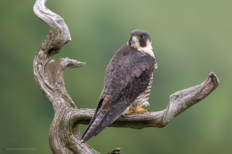"Female Peregrine Falcon ""Queen"""