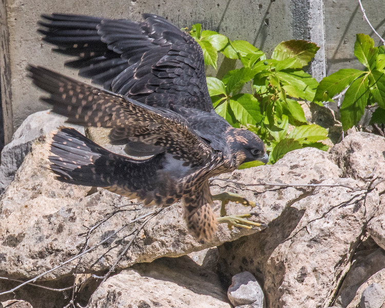 20170801_CVNP Perigrine_1048-Recovered
