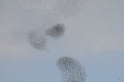 """European Starlings gathering prior to roosting and attempting to confuse predators. A Peregrine Falcon, visable here, and several accipiters were in the area (8801 Jackson rd., Sacramento co. Ca) 12-1-09. This behavior is called """"murmuration"""""""