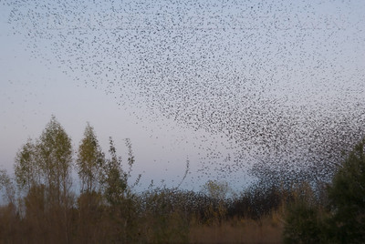 """European Starlings gathering prior to roosting and attempting to confuse predators. A Peregrine Falcon and several accipiters were in the area (8801 Jackson rd., Sacramento co. Ca) 12-8-09. This behavior is called """"murmuration"""""""