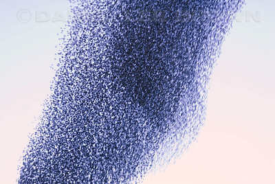 """Mass of European Starlings. Captured on 12-8-09 This behavior is called """"murmuration"""""""