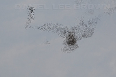 """European Starlings gathering prior to roosting and attempting to confuse predators. A Peregrine Falcon and several accipiters were in the area (8801 Jackson rd., Sacramento co. Ca) 12-1-09. This behavior is called """"murmuration"""""""