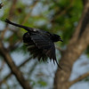 A so so shot of a Black Drongo in flight but the best yet