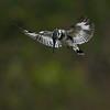 birds,kingfisher