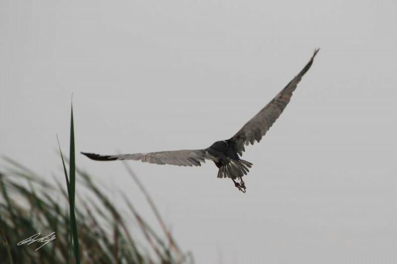 Little Blue Heron, Pantanos de Villa Ponds, Lima, Peru, 20140714. Photo by Bruce.