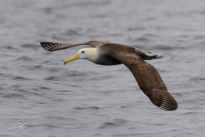 Waved Albatross, Pacific Ocean west of Lima, Peru, 20140712. Photo by Bruce.