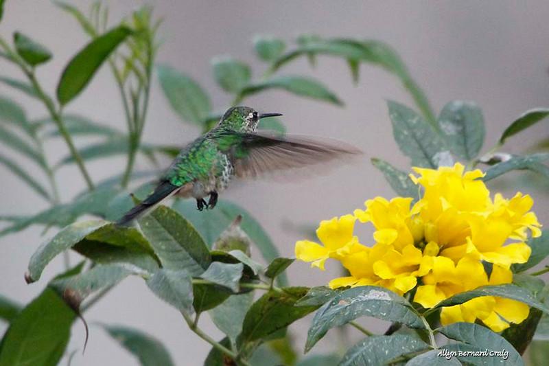 Many-spotted Hummingbird, Ollantaytambo, Peru, 20140717. Photo by Allyn.