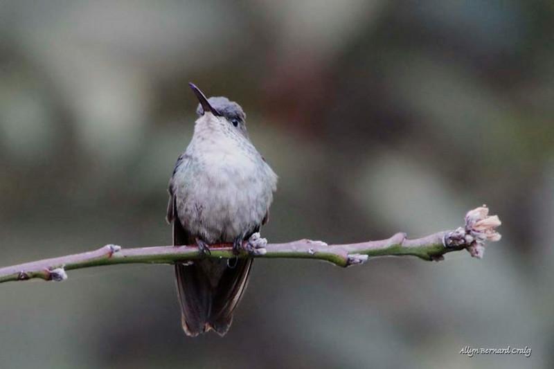 White-bellied Hummingbird, Ollantaytambo, Peru, 20140717. Photo by Allyn.