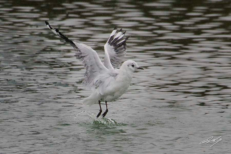 Andean Gull (adult basic plumage), Pacific Ocean west of Lima, Peru, 20140714. Photo by Bruce.