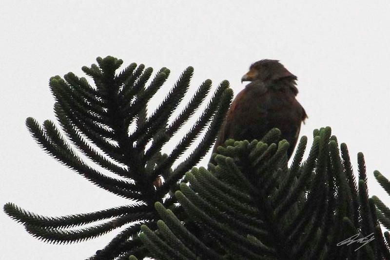 Mountain Caracara, Bosque El Olivar, San Isidro, Lima, Peru, 20140722. Photo by Bruce.