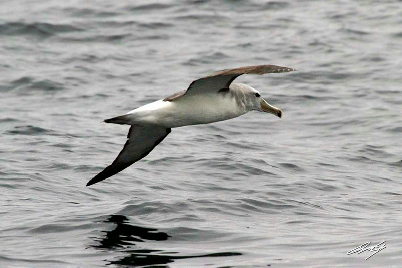 Salvin's Albatross, Pacific Ocean west of Lima, Peru, 20140712. Photo by Bruce.