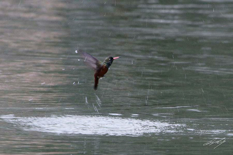 Amazilia Hummingbird, Bosque El Olivar, San Isidro, Lima, Peru, 20140722. Photo by Bruce.