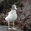 Belcher's Gull (adult basic plumage), District LaPunta, Lima, Peru, 20140712. Photo by Bruce.
