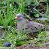 Croaking Ground-Dove, Bosque El Olivar, San Isidro, Lima, Peru, 20140723. Photo by Bruce.