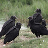 Black Vulture, Pantanos de Villa Shore, Lima, Peru, 20140714. Photo by Bruce.