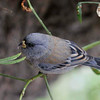 Band-tailed Seedeater, Ollantaytambo, Peru, 20140717. Photo by Bruce.
