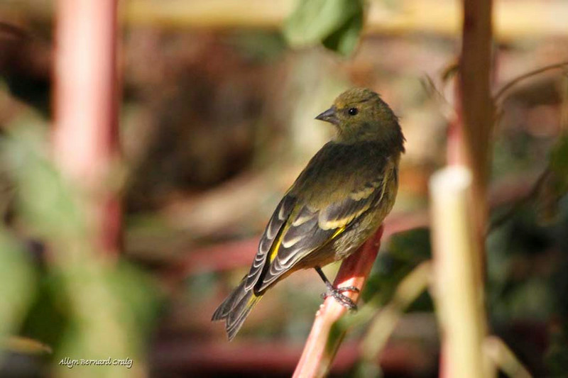 Hooded Siskin, Ollantaytambo, Peru, 20140717. Photo by Allyn.