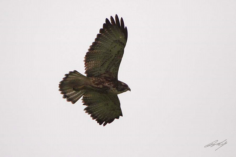 Varied Hawk, Reserva Nacional Lomas de Lachay, Huaral District, Peru, 20140724. Photo by Bruce.