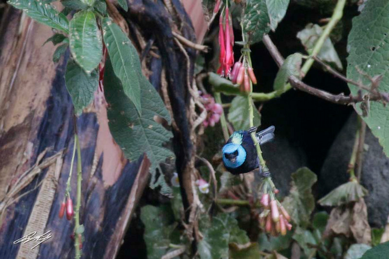 Blue-necked Tanager, Machu Picchu, the Lost City of the Incas, 20140718. Photo by Bruce.
