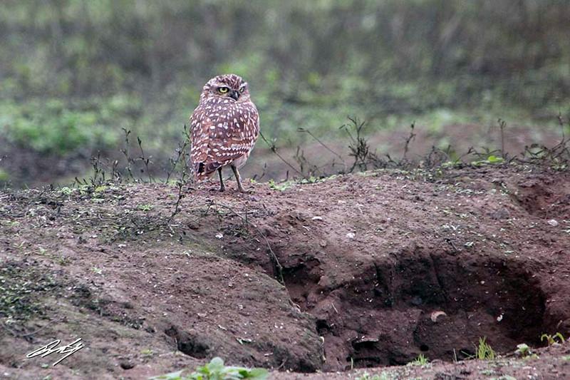 Burrowing Owl, Reserva Nacional Lomas de Lachay, Huaral District, Peru, 20140724. Photo by Bruce.
