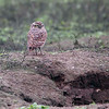 Burrowing Owl, Reserva Nacional Lomas de Lachay, Huaral District, Peru, 20140724. Photo by Bruce.