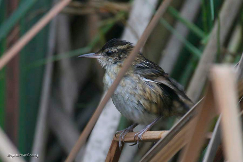 Wren-like Rushbird, Pantanos de Villa Ponds, Lima, Peru, 20140714. Photo by Allyn.