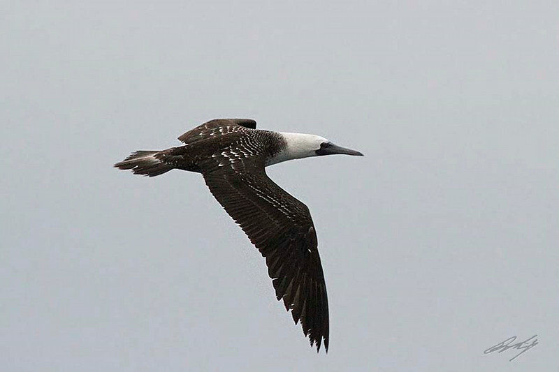 Peruvian Booby, Pacific Ocean west of Lima, Peru, 20140712. Photo by Bruce.