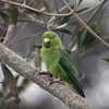 Mountain Parakeet, Bosque El Olivar, San Isidro, Lima, Peru, 20140722. Photo by Allyn.